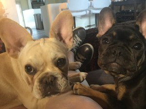 Denver French Bulldogs