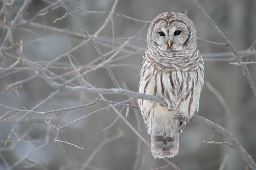 Bois Blonds Atelier Cologne Winter Woods Barred Owl WikiPedia