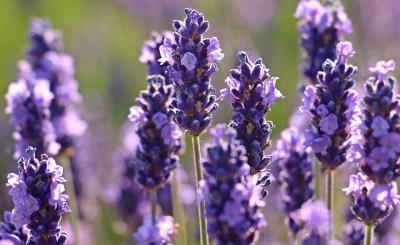 lavender Pour Un Homme de Caron