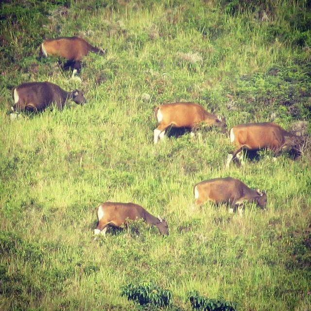 Banteng (Bos javanicus), Salah satu tempat persebaran satwa ini adalah Di taman nasional Kayan Mentarang via @sewarashati