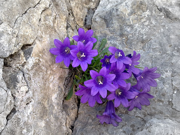 perierga.gr - Το λουλούδι του Ολύμπου που δεν υπάρχει πουθενά αλλού!