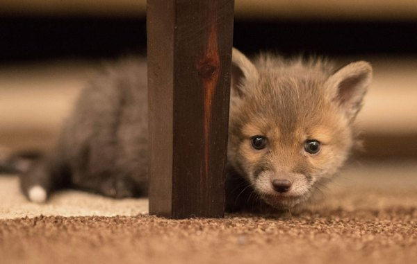 perierga.gr - Σκυλίτσα υιοθετεί ορφανή αλεπουδίτσα!