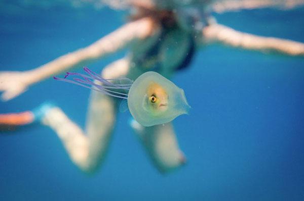 perierga.gr - Ζωντανό ψάρι παγιδεύτηκε μέσα σε μια μέδουσα!