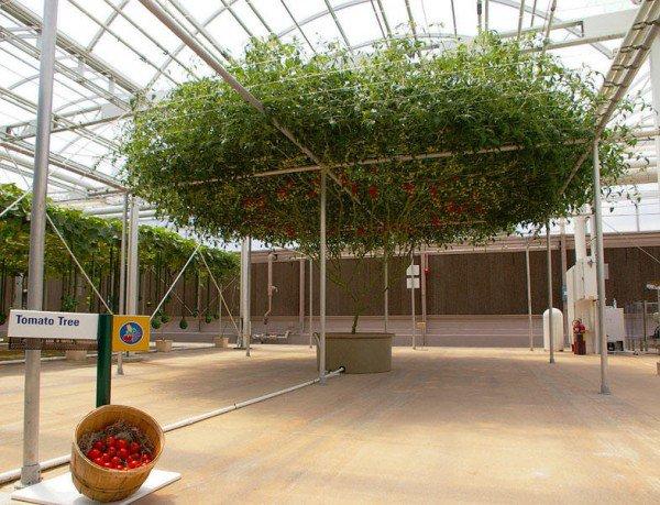 perierga.gr - 10.000 ντομάτες από μία μόνο ντοματιά!