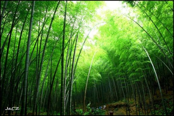 perierga.gr - Τα μπαμπού ανθίζουν κάθε 60-130 χρόνια!