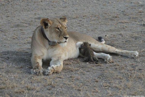 perierga.gr - Γιατί μια λέαινα θηλάζει ένα μωρό λεoπάρδαλη;