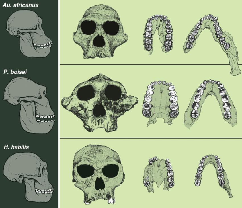 paleontology-dentition-megadontia-australopithecus-homo habilis-diet-herbivore-omnivore