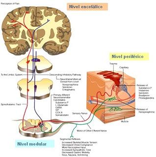 nocicepcion-dolor-nociceptores-encefalo-medula-espinal-sufrimiento