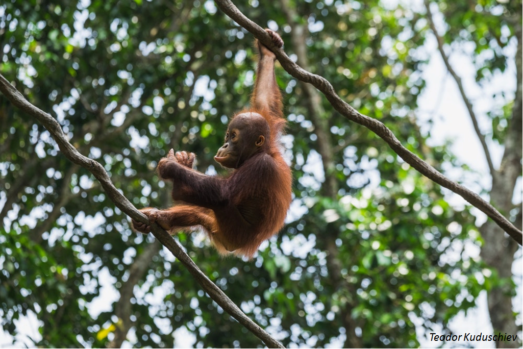 Orangutans, the mammals that take the longest to have a calf