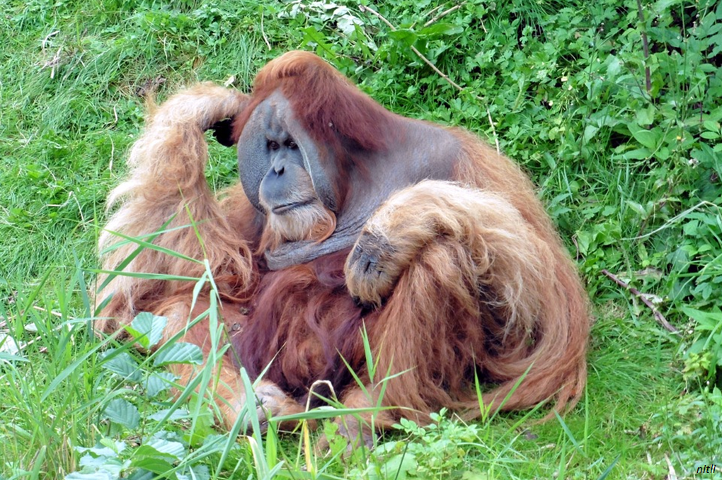 "The orangutans' ""trick"" to ensure their reproductive success"