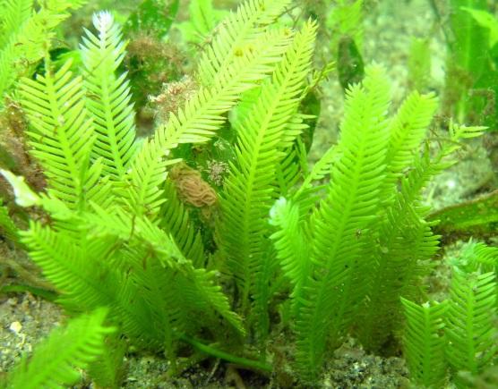 Caulerpa-taxifolia-alga-asesina-acuariofilia-acuario-Monaco-mar-Mediterraneo-via-introduccion