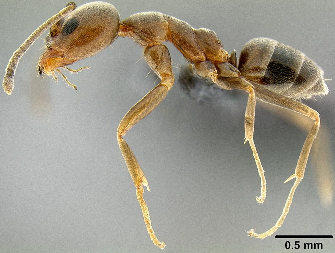Linepithema-humile-Argentine-ant-boom-busts-population-dynamics-invasive-alien-species