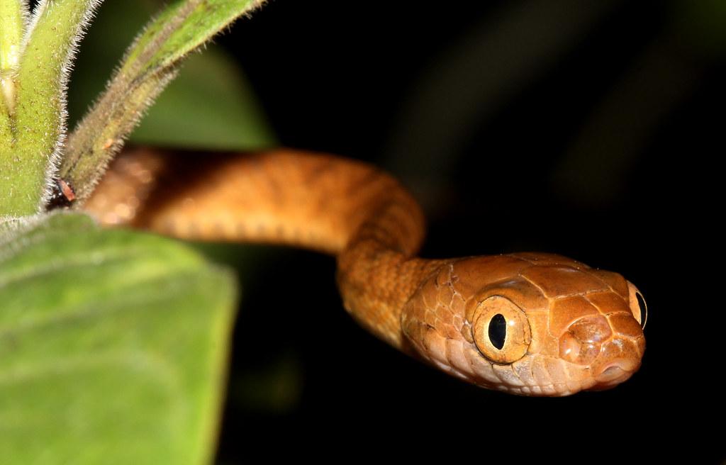 boiga-irregularis-brown-tree-snake-invasive-alien-species-exotic-introduction-pathways-ecosystems-Guam