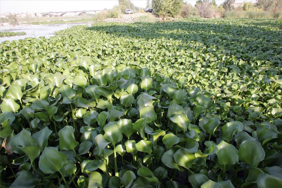 camalote-jacinto-agua-Guadiana-Eichhornia-crassipes-reproduccion-vegetativa-asexual