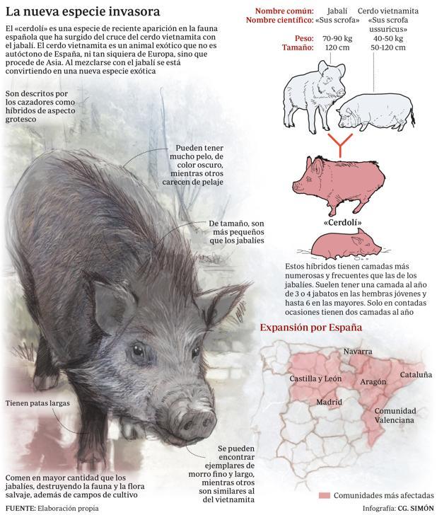 cerdoli-hibridacion-jabali-cerdo-vietnamita-sus-scrofa-domestica-perdida-diversidad-genetica
