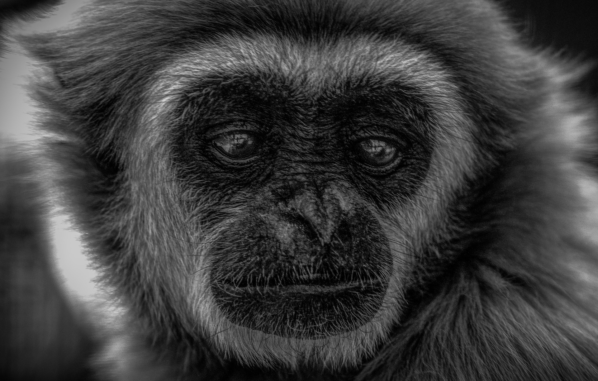 The peculiarities of gibbons