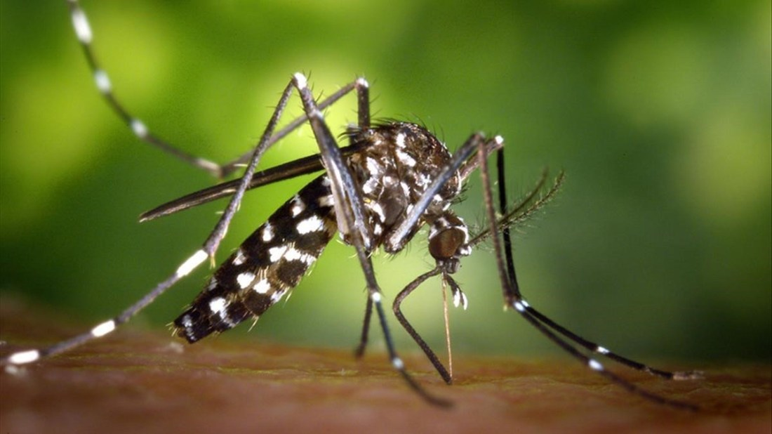 Asian-tiger-mosquito-Aedes-albopictus-vector-pathologies-illness-chikungunya-zika-West-Nile-Virus-dengue-malaria-zoonosis