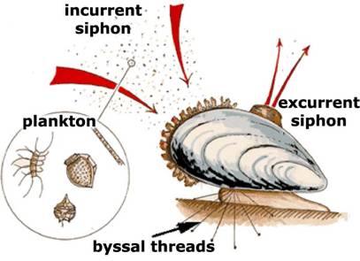 filtracion-dreissena-polymorpha-mejillon-cebra-impactos-negativos-competencia-recursos-unionidae-densidad-poblacion-especies-invasoras-macrofitos