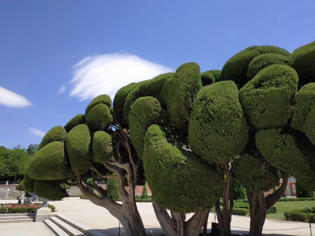 cipreses-cipres-parterre-ahuehuete-cipres-calvo-reservado-madrid-jardines-buen-retiro-parque-historia