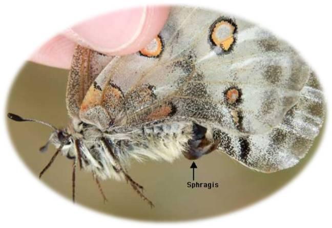 insectos-bichos-reproduccion-competencia-espermatica-libelulas-mariposas-genitalia-sphragis