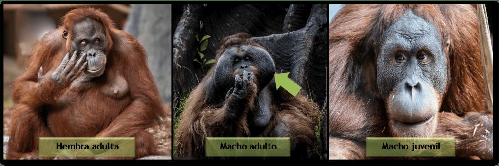 orangutanes-orangutan-hembra-macho-animales-mamiferos-primates-simios-crias-pubertad-fitness-exito-reproductivo
