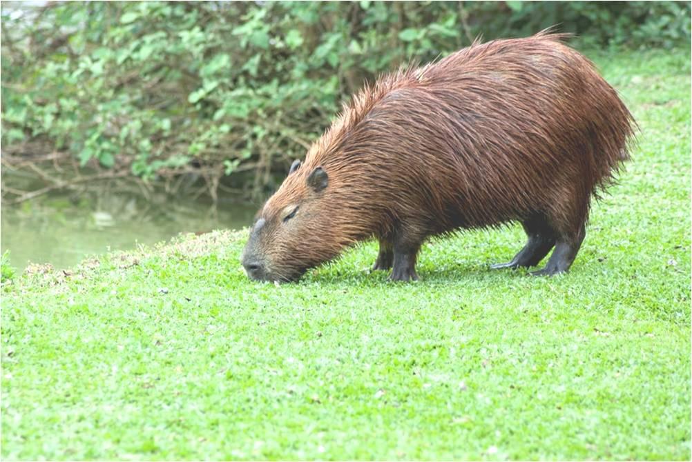 animales-zoologia-biologia-capibara-roedor-mas-grande-biodiversidad-hydrochoerus-hydrochaeris