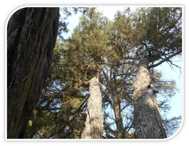 juniper-juniperus-thurifera-romans-calatañazor-soria