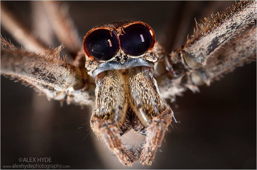 deinopis-spider-ogre-faced-hunting-arachnids-arthropods-animals-zoology-spiderweb