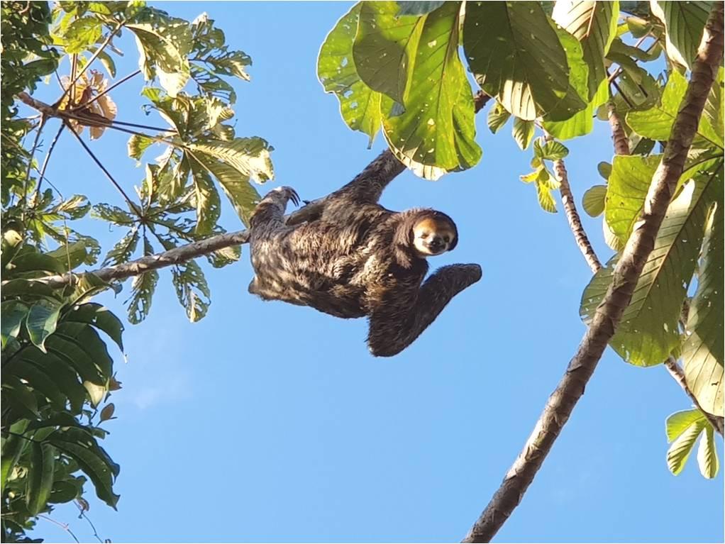 perezoso-tres-dedos-mamiferos-animales-biodiversidad-bradypus-tridactylus