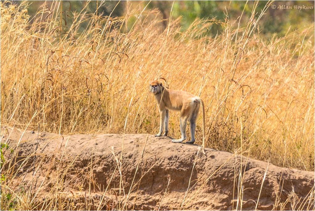 biologia-zoologia-curiosidades-animales-monos-primates-patas-erythrocebus-patas-africa-biodiversidad