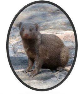 distribucion-mangosta-enana-viverridos-mamiferos-biodiversidad-biologia-zoologia-animales
