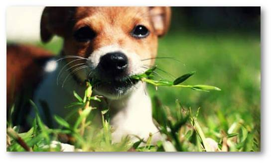 curiosities about dogs - why dogs eat grass - animals - animal curiosities - wolves - canine behaviour - animal behaviour - ethology - zoology - biology - inheritance behaviour - purging