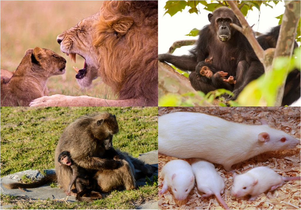 lions-animal infanticide-offspring murders - zoology-adaptation-chimpanzees-primates-biology-evolution