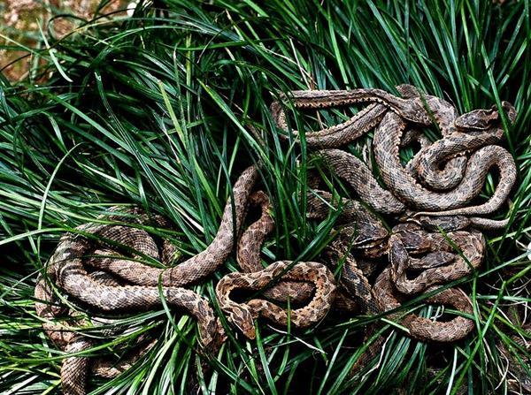 snakes-queimada grande island-brazil-forbidden places-treasures-forbidden island