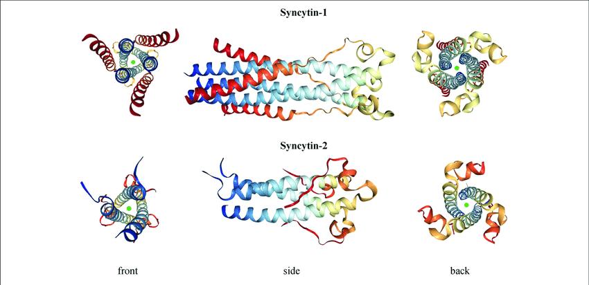 sincitina 1- enfermedad autoinmune-sars cov 2-vacuna de arnm - arnm-arn mensajero-infertilidad-esterilidad