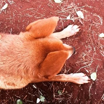 Guru, the elder of Sangam House's Canines-in-Residence