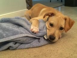 Gimli chewing on a towel