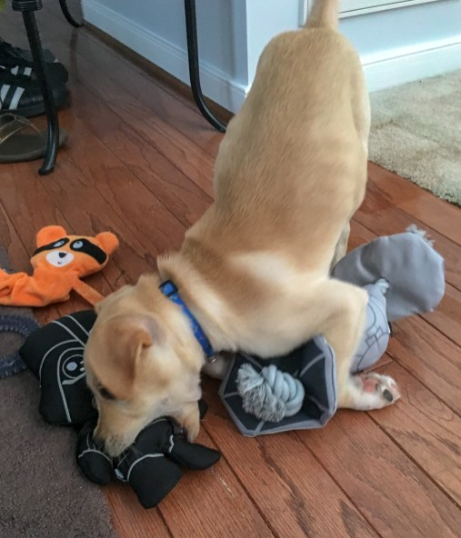 Gimli playbowing with toys