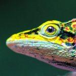 Algunas de las especies encontradas durante la expedición, entre ellas, una rana de lluvia, un murciélago furgívero y un camaleón andino o de alta montaña. Los investigadores presumen que este último podría ser una nueva especie. / FOTOS ANDRÉS ROMERO