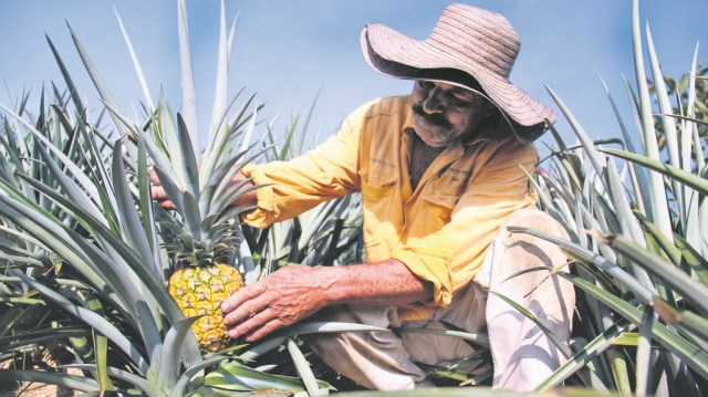 Los proyectos productivos enfocados en la agricultura se centran en los cultivos de frutas, especialmente de limón, naranja, piña y mandarina. / FOTO SUMINISTRADA AGENCIA PARA LA REINTEGRACIÓN Y LA NORMALIZACIÓN, ARN