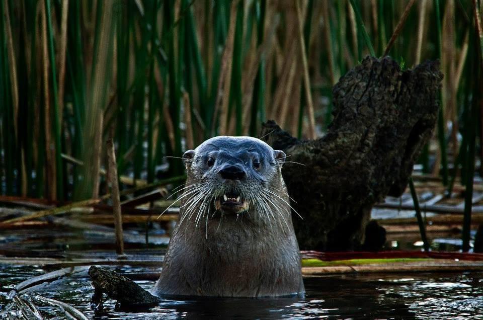Primer lugar Segundo Concurso de Fotografía de la Flora y Fauna de los Humedales de Valdivia (Jaime Parra, foto Fantasma acuático)