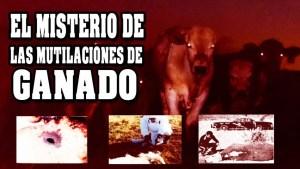 El misterio de las mutilaciones de ganado
