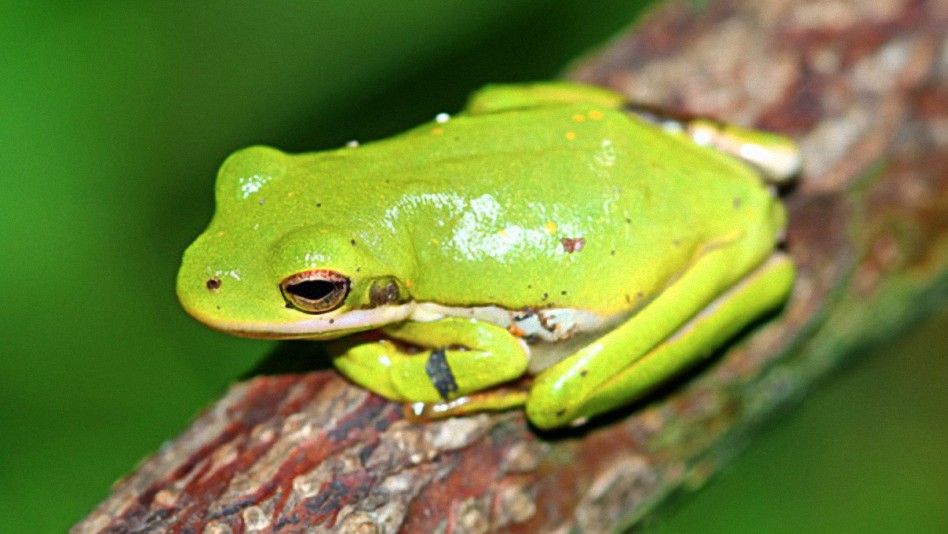 american-green-tree-frog