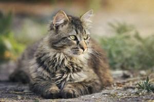 Coco, el gato que se parece a un tigre y se porta como un perro