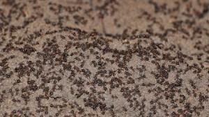 Un millón de hormigas caníbales salen a la superficie tras pasar años encerradas en un búnker nuclear soviético