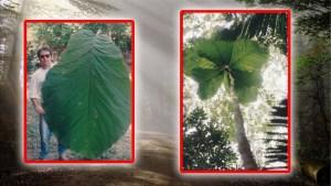 Identificada nueva especie de árbol con hojas más grandes que un humano