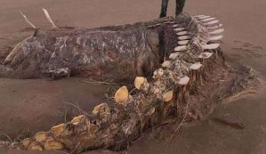 Aparece el esqueleto de una misteriosa bestia después de una tormenta en una playa escocesa