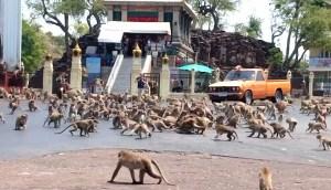 Pandillas de monos hambrientos pululan y luchan, por comida, en las calles de Tailandia