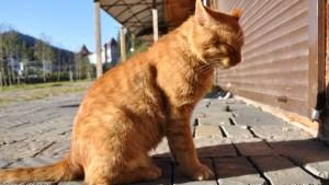 Un gato se escapa de la casa de su nueva familia y recorre 64 kilómetros para volver junto a sus antiguos dueños