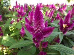 Celósia: Una planta hermosa, que sirve como alimento y medicina